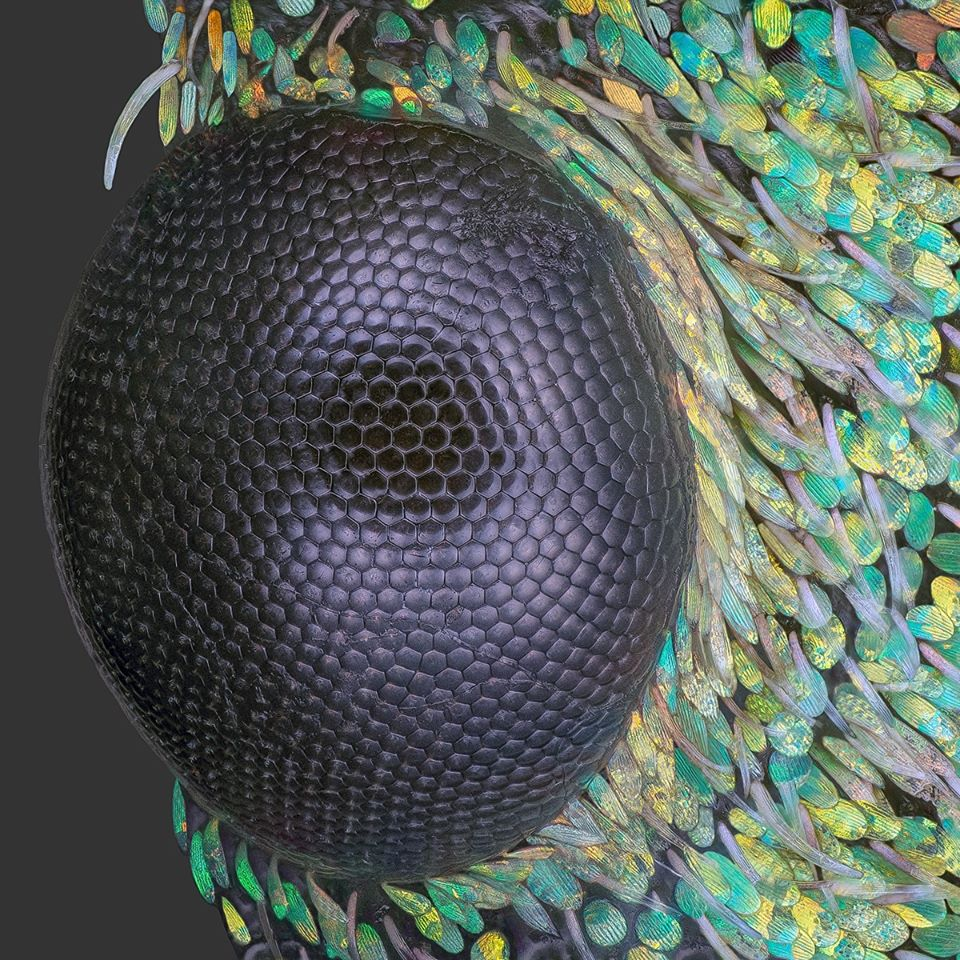 Insect compound eye